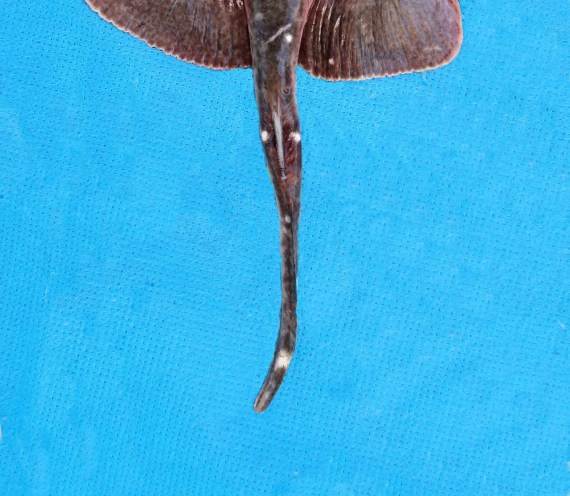 California Butterfly Ray (3)
