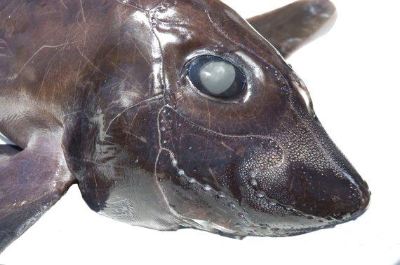 Eastern Pacific Black Ghostshark (4)