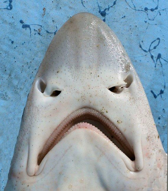 Brown Smoothhound Shark (2)