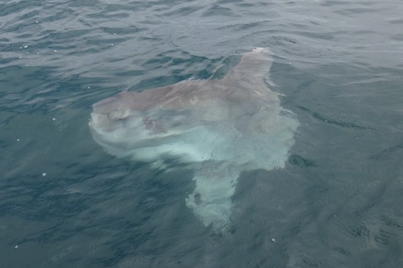 f544-ocean-sunfish-4