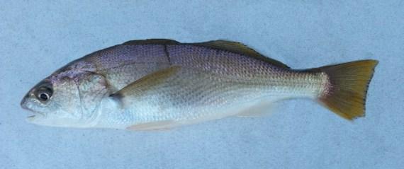 White Croaker (1)