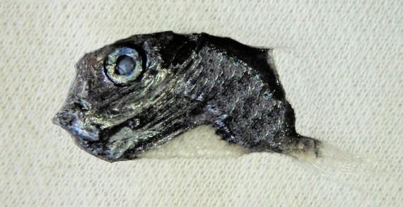 Longspine Hatchetfish (1)