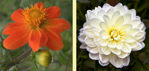 Mexican Paper Flowers Dahlia wild and cultured