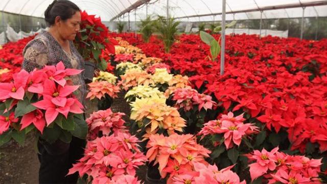 Producción de nochebuena superará 19 millones de plantas