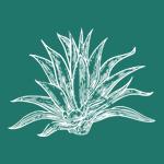agave100