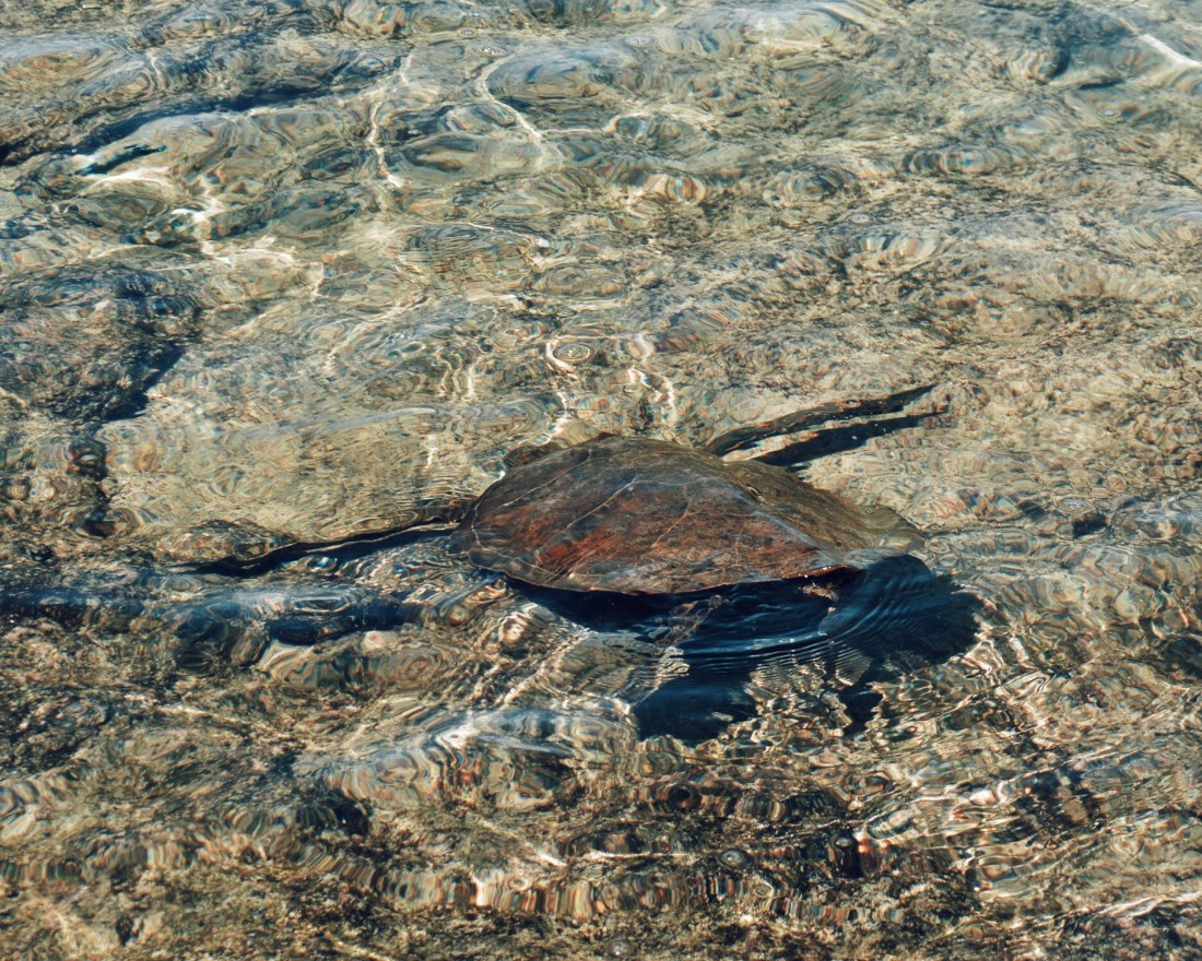 Kahalu'u Bay Turtle Hawaii