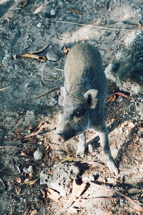 Pig Atauro Island