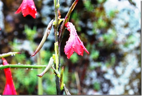 Kilimanjaro Plant Life (1)