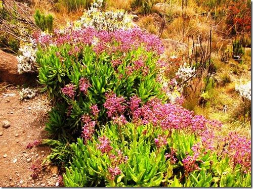 Kilimanjaro Plant Life (26)