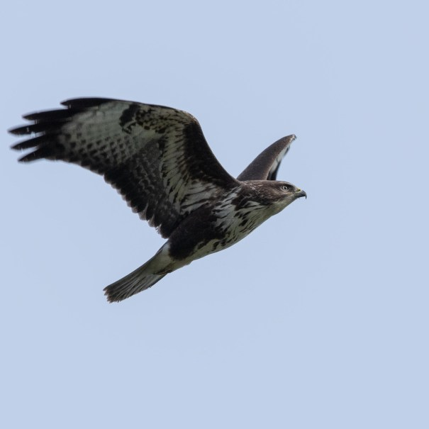 Flying with Buzzards