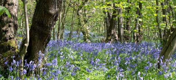 Bluebell Woods – Bank Holiday