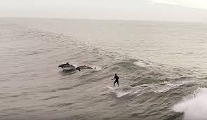 Surf con delfini ripreso da drone