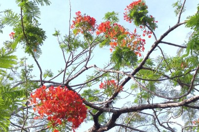 Royal Poinciana Ecstasy