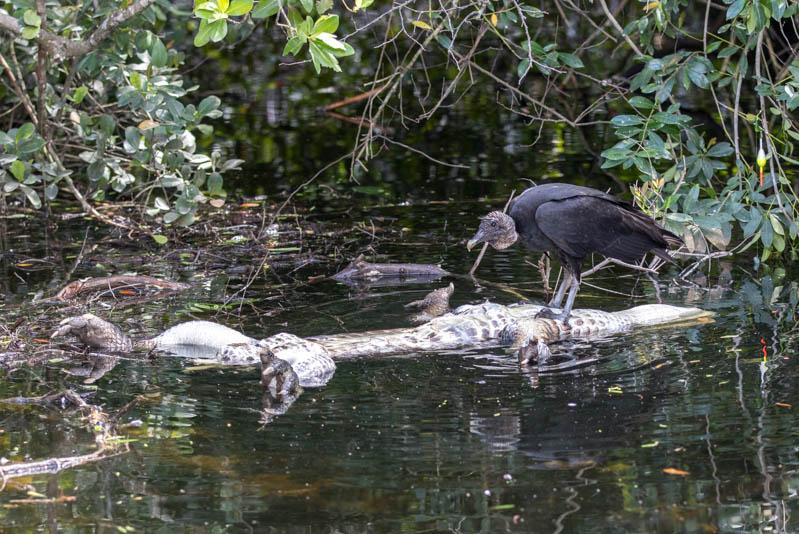 Everglades-Alligator-Gier-800px-20200218-5N6A5152