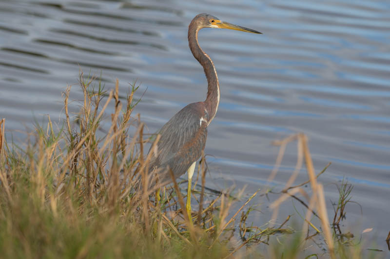 Everglades-Witbuikreiger-800px-20200218-5N6A5176