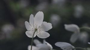 Anemone i smukt modlys med kun blomsten oplyst svajer i vinden