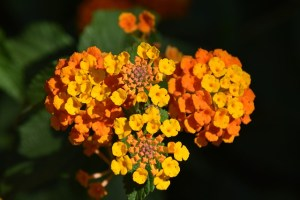 Maryland Annuals for Fall Planting