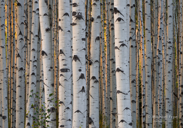 Late-afternoon sunlight in an aspen forest, Gunnison NF, CO, USA