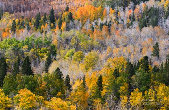 Autumn aspens, Inyo NF, CA, USA