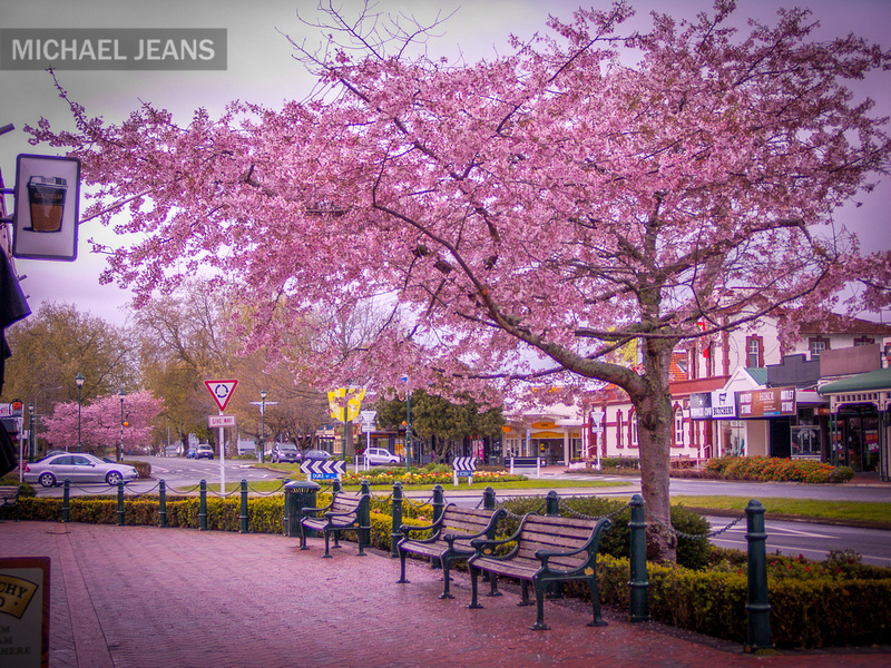 Cherry blossom Victoria Street Cambridge New Zealand