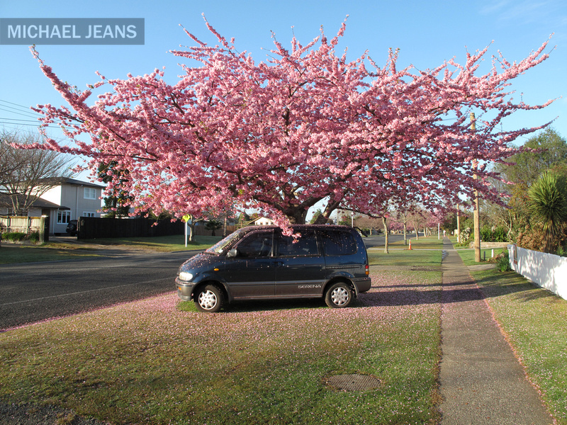 Ragamuffin cherry tree Shakespeare Street Leamington New Zealand