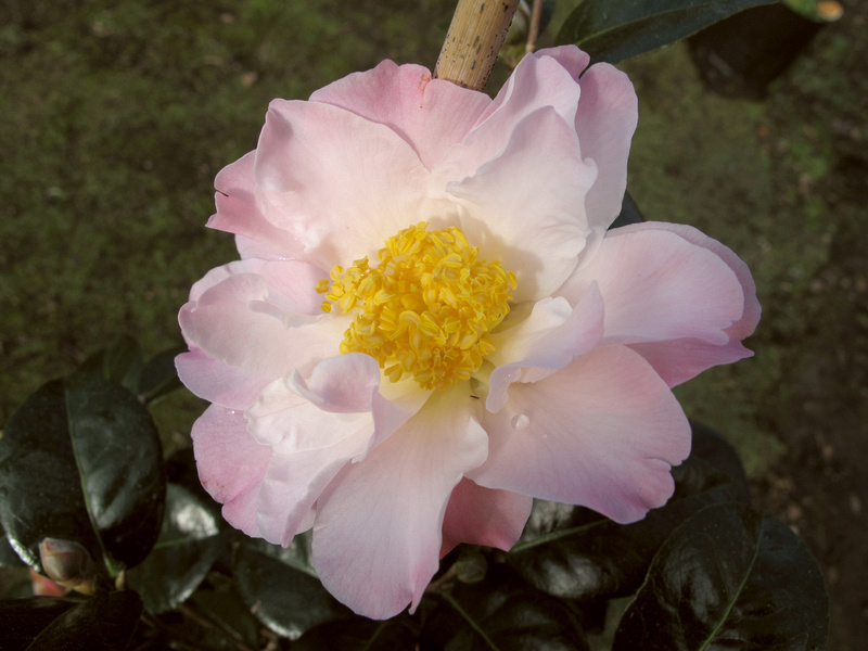 Apple Blossom Sun (saluenensis x) Mark Jury hybrid, selected for its high health garden performance. Loose peony form in apple blossom pink with sunny golden stamens. Excellent dark glossy foliage on a compact, upright plant. Early-mid season flowering.