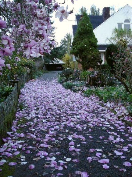 Iolanthe yesterday morning after the storm - the petal drop was prodigious