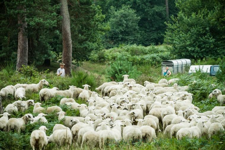 Ein Schäfer mit seiner Herde gehört zur Heide wie der Karneval zu Köln. (Foto: Michael Kaub)