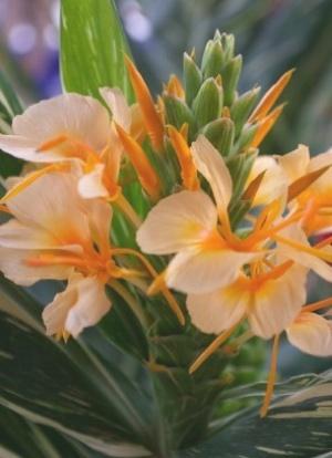 Flowering Ginger Growing in Hawaii