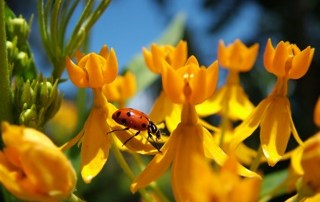Ladybug on Yellow Spring Flowers