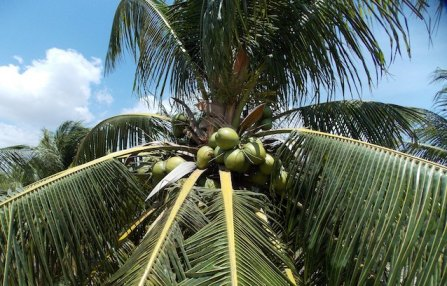 Coconuts on tree