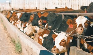 Cows in Feedlot