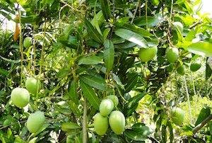 Tree of Mango
