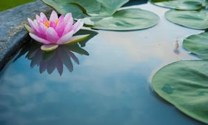 Water and Lilly Pads