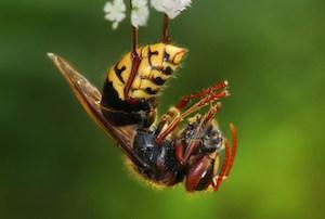 Bee in Belize