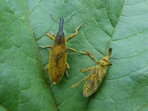 Kissing Bug Belize