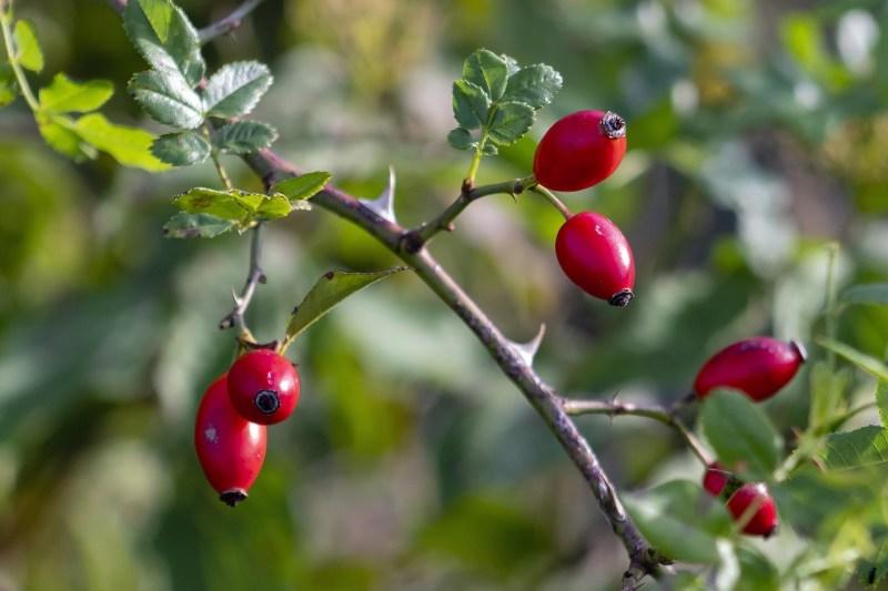 Rosehips Fruit Bush Berries Blooms - glacika56 / Pixabay
