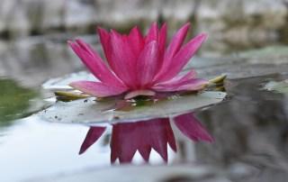 Flower Lotus Plant Pond Flora