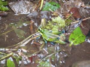 Blue legged grasshopper