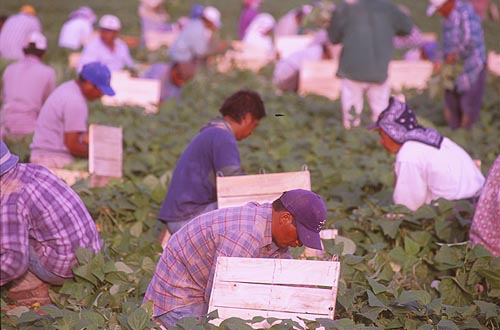 Mexican%20people%20picking%20green%20beans%20in%20a%20field%20just%20above%20Everglades%20National%20Park,%20Turco%20%28c%29%202002.jpg