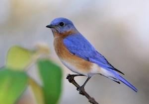 eastern_bluebird_11 (1)