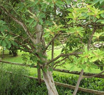 Clethra barbineris