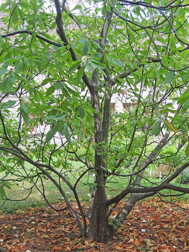 The Franklinia tree