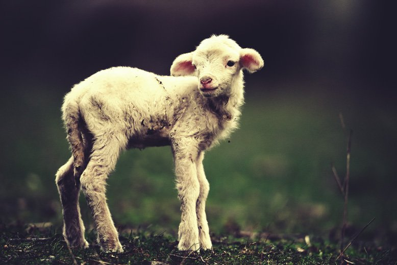 michael woroniecki blog lamb