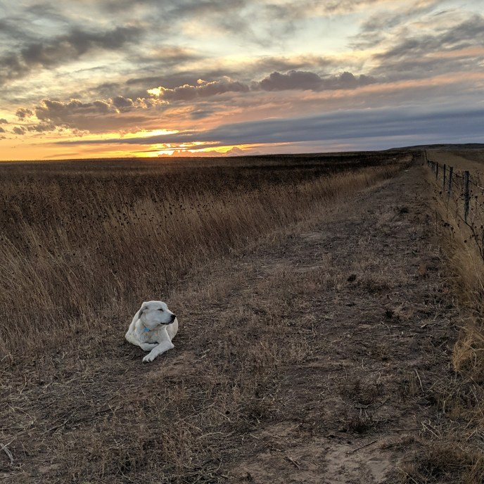 Livestock Guardian Dog Heimdall laying in the field with the sun setting behind him.