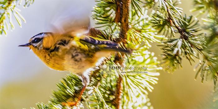 """Participez au Webinaire """"Suivi des oiseaux communs"""" ouvert à tous du lundi 8 mars 2021 au mardi 9 mars 2021 - copyright photo MH - www.michelhugues.com"""