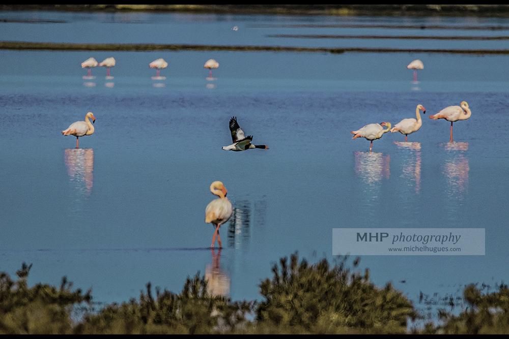 """Fiche NATURE : découvrir le """"Tadorne de Belon"""" - Copyright photo MH - www.michelhugues.com"""