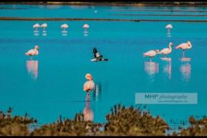 """Fiche NATURE : découvrir le """"Tadorne de Bellon"""" - Copyright photo MH - www.michelhugues.com"""