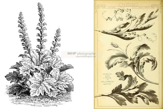 """Fiche NATURE : FLORE : découvrir le """"les feuilles d'ACANTHE"""" - copyright www.michelhugues.com 2021"""
