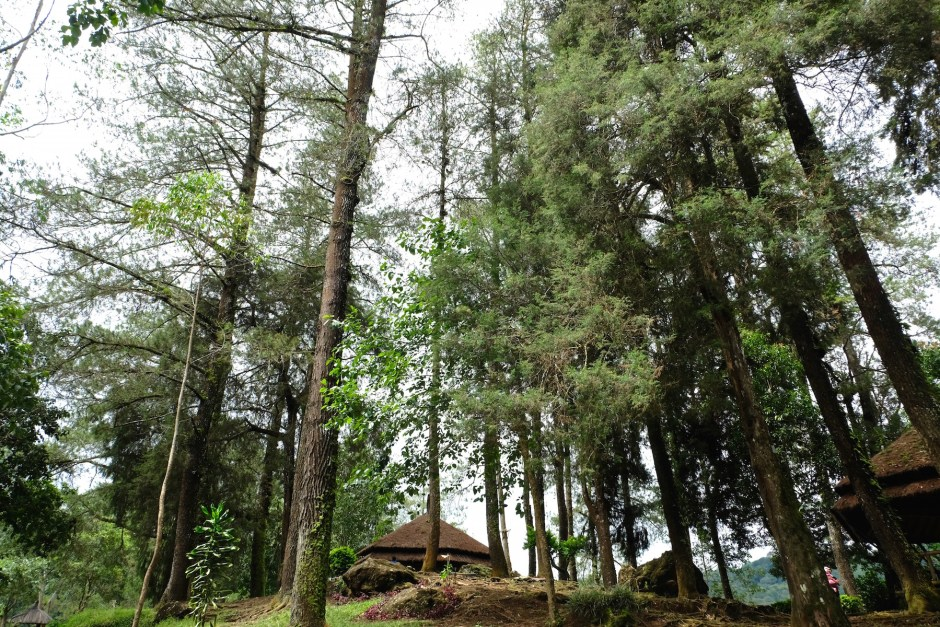 Tall trees situ patenggang